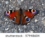 Colorful peacock butterfly sitting on warm pavement ready to start flying again - stock photo