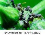 Black Ants On Green Tree