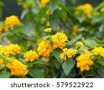 Yellow Lantana Flowers