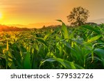 young green corn field in... | Shutterstock . vector #579532726