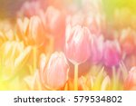 Blurred Tulip Flowers Blooming...