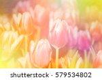 Blurred Tulip Flowers Blooming...