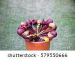 A Potted Carnivorous Plant...
