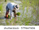 farmer planting rice sprout in...   Shutterstock . vector #579667606