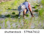 farmer planting rice sprout in...   Shutterstock . vector #579667612