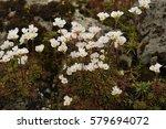 Small photo of Androsace adfinis subsp. brigantiaca