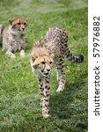Watchfull Cheetah on guard