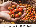 Organic Tomato. Hands With...