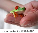 the red eyes tree frog is...   Shutterstock . vector #579844486
