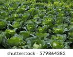 high altitude cabbages | Shutterstock . vector #579864382