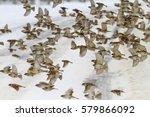 flock of sparrows flying winter ... | Shutterstock . vector #579866092