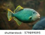 yellowmargin triggerfish ... | Shutterstock . vector #579899095