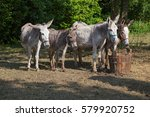 Donkeys And Mule Drinking Water