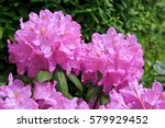 Beautiful Pink Rhododendron.
