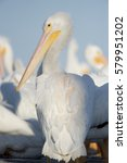 Small photo of An American White Pelican stands tall on a dock showing off its impressive beak on a sunny day in front of a flock of other pelicans.