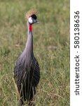 grey crowned crane in the grass ... | Shutterstock . vector #580138636