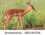 Impala Baby  Kruger National...