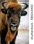 Portrait Of European Bison In...