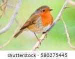 European Robin  Redbreast On A...
