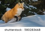 Red Fox Jumping In The Snow.