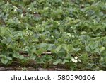 Blooming Of Strawberry Flower