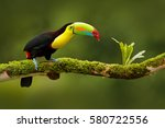 Stock photo keel billed toucan ramphastos sulfuratus bird with big bill sitting on the branch in the forest 580722556