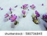 Blooming Violet Crocuses In...
