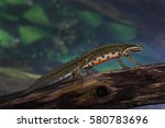 Smooth Newt   Male