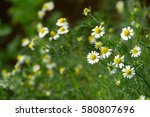 Flowering. Chamomile. Blooming...