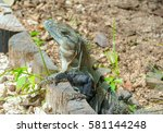 iguana looking to the camera | Shutterstock . vector #581144248