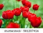red tulips on green in the... | Shutterstock . vector #581207416