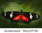 Butterfly Heliconius Hacale...
