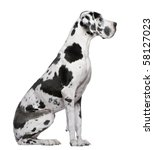 Great Dane Harlequin Sitting I...