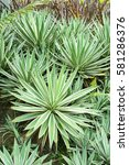 Small photo of Agave angustifolia (Caribbean Agave) in the garden