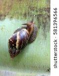 Small photo of Mauritius: Kalutara snail (achatina fulica)
