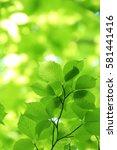 leaves of fresh green. leaves... | Shutterstock . vector #581441416