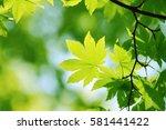 leaves of fresh green. leaves... | Shutterstock . vector #581441422