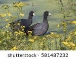 The American Coot  Also Known...