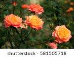 Beautiful Flower Orange Rose...