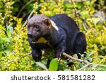 a tayra  from the weasel family ...   Shutterstock . vector #581581282