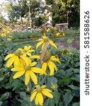 yellow flower field with... | Shutterstock . vector #581588626