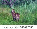Waterbuck In Long Grass