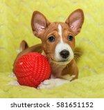 Stock photo beautiful cute puppy dogs not barking african dog breed basenji 581651152