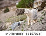 A cute local species of miniature goat looks away. - stock photo