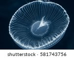 Small photo of Jellyfish (Aequorea coerulescens)