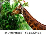 Giraffe Eating Isolated On...