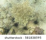 Coral Bleaching With Sea Urchin