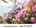 Hydrangea Is Pink  Blue  Lilac  ...