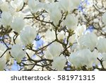 Small photo of White Magnolia Flowers
