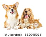 Stock photo english spaniel dog and kitten on a white background 582045016